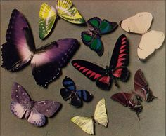 Man Ray, Butterflies, 1935, Carbro print /  The J. Paul Getty Museum