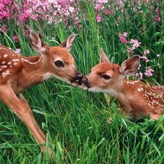Kissing Fawns ;)