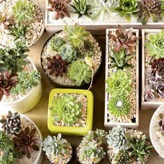 Bird's eye view of just-finished #succulent gardens.  Great for #mothersday!  Contact us or @pennscorner to order yours:) #succulentgarden #mothersdaygift #localgrown #bloomerygrown