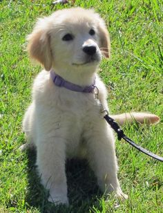 Kylie the Golden Retriever Pictures 935007
