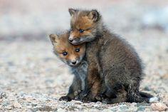 Magical Nature Tour- fox kits