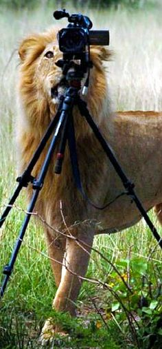 """Lion filming the humans. """"And here we see them huddled in their jeep in fear. They think I'm hungry."""""""
