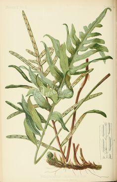 Netted Chain-fern, woodwardia angustifolia      ...