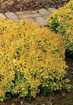 """Barberry, Sunjoy Gold Beret. A unique dwarf, low, mounding golden barberry with attractive red new growth and red fall color. Burn resistant. This is an excellent low maintenance plant for mass plantings or tight spaces that need a shot of bright color. 6-12"""" x 12-18"""""""