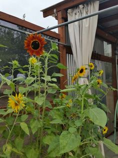 Sunflowers Summer 2014 By Anna Schambers