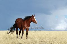 Wyoming wild horses B5019  Blue-eyed bay stallion  Available in prints, cards and canvases and a mug. Mugs are available in my Facebook store: http:store.barbarawheelerphotography.com.   Check out the wild horse galleries by state. We have hundreds of photos of mustangs from all over the US - over 60 herds.  http://barbarawheelerphotography.com/wildhorses