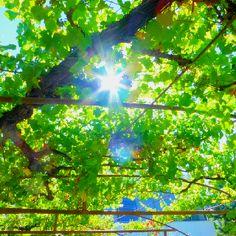 Sunshine and vines = #Tsantalitrip, Greece!