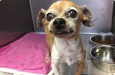 ★08/27/15 HE'S STILL THERE!!! PLEASE, PLEASE PIN & SHARE LIKE CRAZY!!!★WATCH HIS DARLING LITTLE VIDEO - HE'S SO VERY SWEET!!★Bert is a very loving and sweet 7 year old senior Chihuahua. Most small dogs wouldn't be considered a senior at just 7 years old but Bert has had a rough life. He has some bad teeth that need some medical attention but this little guy is such a baby and just wants some love and attention...
