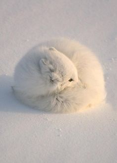 Most animals are cute, however fluffy animals certainly have the edge when it comes to being absolutely adorable. Everyone one of these animals looks so Fluffy Animals, Animals And Pets, Baby Animals, Cute Animals, Artic Animals, Strange Animals, Nature Animals, Wild Animals, Beautiful Creatures