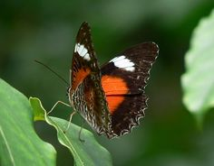The world's oldest rainforest is also home to some of the most beautiful butterflies! The Daintree Rainforest covers a vast … Most Beautiful Butterfly, Butterfly Family, Daintree Rainforest, Tours, Animals, Animaux, Animal, Animales, Animais