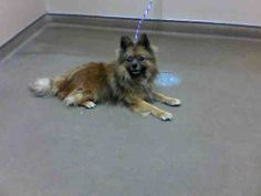 *TEDDY - ID#A757648  Shelter staff named me TEDDY.  I am a neutered male, brown Pomeranian.  The shelter staff think I am about 3 years old....