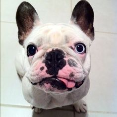 OH MY LAAAAWD!! Too freakin' adorable!   what i alwaYz wanted FRENCH bulldogz - tho i love mY AMERICAN'z just the same LOVE'ME PUPZ!  (✯