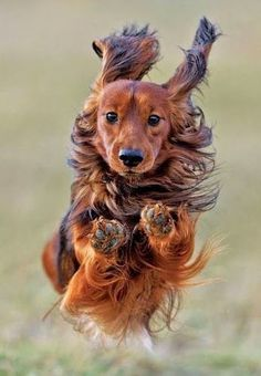 Long Haired Dashchund