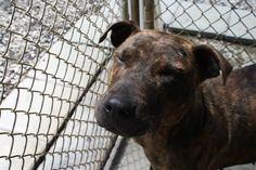 Crystal is on Death Row in a kill shelter. If you can help, please email rcaps2011@gmail.com as soon as possible. Thank you.