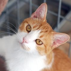Prince Harry is an adoptable Domestic Short Hair Mix in Taos, NM! Isn't he the cutest?!