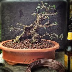 20130226-090242.jpg #bonsai