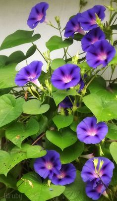 Morning glories - one of the joys of September