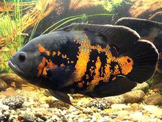 tiger oscar cichlid -- funny side-note from my childhood -- if your feeder-fish are tiny enough, they swim right out the Oscar's gills!