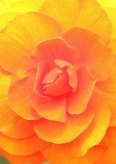 Beautiful close-up of a Begonia...