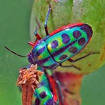 African Beetle