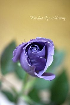 SUNTORY blue rose APPLAUSE