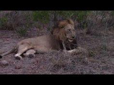 Inyati safari Highlights  2nd week of June 2016