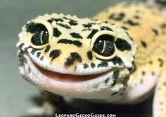 The signature happy leopard gecko lol