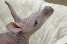 A five-week-old aardvark inspects his surroundings after a routine examination at the Chicago Zoological Society's Brookfield Zoo in Brookfield, Ill. on Wednesday, Feb. 22, 2012.