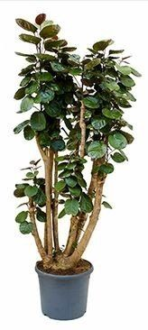 Aralia (Polyscias) Fabian - Plyscias kopen online - Home Meets Nature Plant Care, Houseplants, Outdoor Gardens, Green, Flowers, Google Search, Indoor House Plants, Royal Icing Flowers, Flower