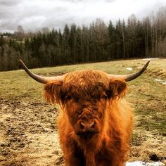 Highland Cattle In Finland. #highlandcattle #highlandcow #ylämaankarjaa #cow #cows #farm #countryside #finland #cattle #ylämaankarja