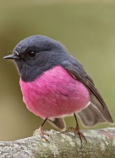 Pink and grey bird