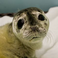 [A stranded seal pup, probably born premature and abandoned by it's mother, rescued by the Haines (AK) Animal Rescue Center] Baby Zoo, Beautiful Dogs, Animals Beautiful, Beautiful Creatures, Seal Pup, Baby Seal, Animal Rescue Center, Pet News, Cute Creatures