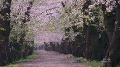 角館桧木内川堤の桜並木