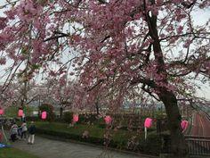 11:「お〜い、さくら〜!葛飾柴又公園の枝垂れ桜」@柴又公園