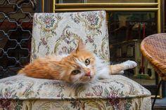 Daily Cat Istanbul: Antique Store Cat In Çukurcuma.