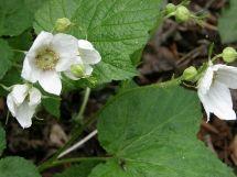 Thimbleberry flower