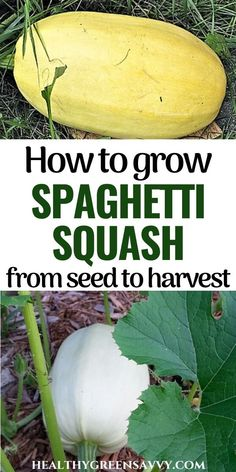 Growing your own spaghetti squash is easy, and lets you enjoy an entire dinner picked from the garden! Here's what to know to grow plentiful spaghetti squash this season. #spaghettisquash #gardening #vegetablegardening #growyourownfood Growing Spaghetti Squash, Spaghetti Squash Seeds Roasted, Cucumber Beetles, Squashes, Urban Homesteading, Natural Garden, Cleaning Recipes, Delicious Fruit, Garden Pests