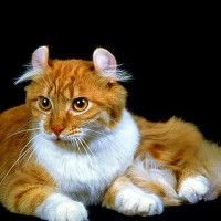 #dogalize Cat breeds: American Curl cat Characteristics and Personality #dogs #cats #pets