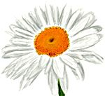Drawing a Daisy, step by step