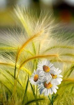 A beautiful photo you feel with your heart Sunflowers And Daisies, Wild Flowers, Amazing Flowers, Beautiful Flowers, Daisy Love, Flower Art, Flower Power, Nature Photography, Scenery