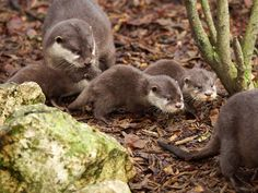 France's ZooParc de Beauval is celebrating the arrival of three Asian Small-clawed Otter pups! The trio was born to female Suri, who is providing excellent care. See more photos at ZooBorns.com and at http://www.zooborns.com/zooborns/2015/01/otter-pups-stick-with-mom-at-zoo-de-beauval.html