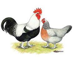 Best Tasting Heritage Chicken Breed