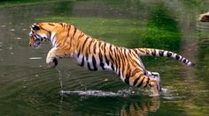 Corbett National Park, located in Uttrakhand is the first Tiger Reserve of India and the oldest national park. Explore the Tiger safari tour and Wildlife Corbett Park. Angry Tiger, Big Tiger, Tiger Paw, Bengal Tiger, Wildlife Wallpaper, Tiger Wallpaper, Hd Wallpaper, Animals And Pets, Cute Animals