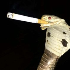 Snake with cigarette Savages