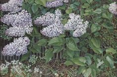 Lilac by Stanley Spencer England) English Artists, British Artists, Stanley Spencer, Landscape Paintings, Flower Paintings, Garden Painting, Most Beautiful Flowers, Cool Artwork, Art Images