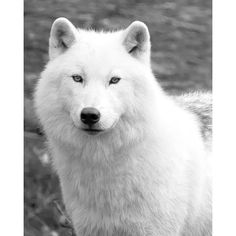 Pinterest / Search results for artic wolf ❤ liked on Polyvore featuring animals, wolf, pictures and tiere