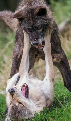 Attack wolves