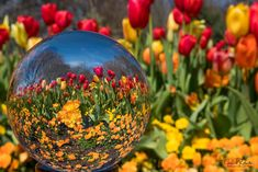 Beaut Lens Ball Pick taken from a FB page I am in. #lensball #flowers #glassball Lens Ball Photography Illusion Photography, Glass Ball, Crystal Ball, Creative Photography, Rainbows, Nikon, Picture Ideas, Photo Ideas, Bubbles