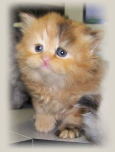 cat breed picture: Exotic Shorthair Kittens - #smallcat- See more stunning Tea Cup Cat Breeds at Catsincare.com!