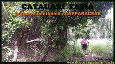 Amazônia - Planta Medicinal Nativa - Catauari - Crataeva benthamii - Cel...